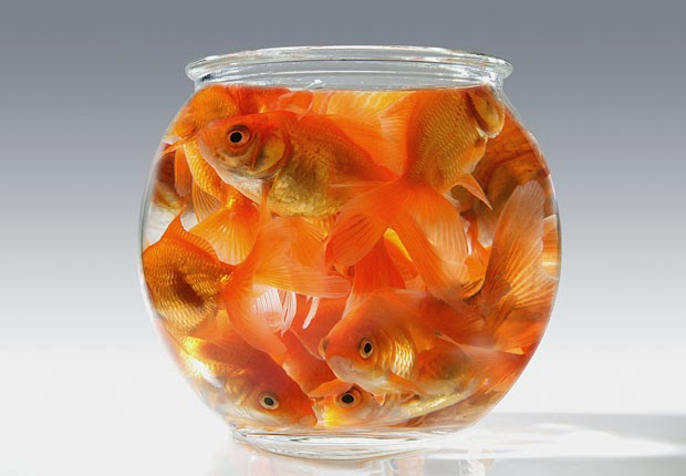 620-goldfish-small-bowl-claustrophobia.imgcache.rev1363017034520
